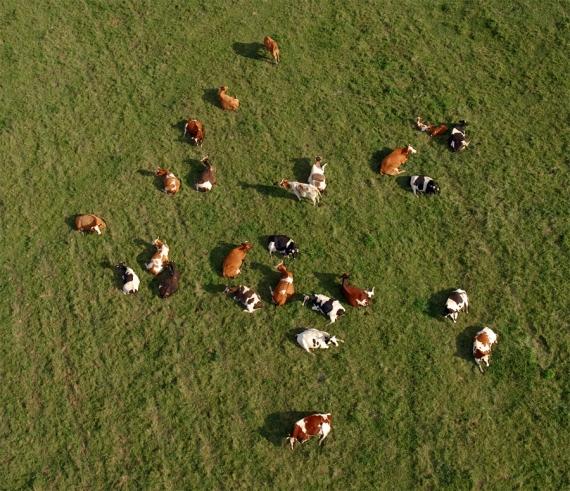 Krówki na wypasie (ujęcie ukośne)