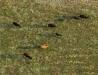 Stado krówek z lotu ptaka