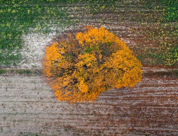 Samotne drzewo na miedzy.